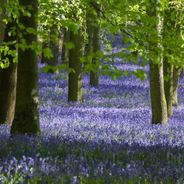 Bluebells in Spring Seasonal Pickings